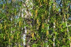 Березовые почки и листья